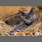 image of Russian blue cat
