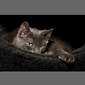 image of a Russian Blue Cat