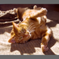 image of orange tabby cat