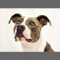 image of brown and white pitbull dog
