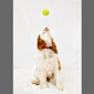image of a cocker spaniel dog and a tennis ball