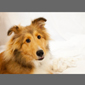 image of collie dog