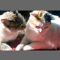 image of Turkish Van cat and brown tabby cat