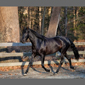image of Black Andalusian horse